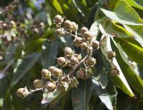 Spezia sotto forma di dado su un albero, tropici Immagine Stock