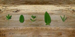 Spezie aromatiche fresche - erbe del fresch su legno Prezzemolo-menta-timo-salvia-rosmarini immagini stock