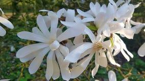 Spezielle schöne weiße Magnolie lizenzfreie stockbilder