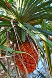Spezielle thailändische Frucht Stockfoto