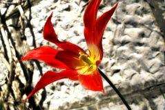 Spezielle Tulpe Stockbild