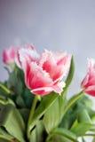 Spezielle Tulpen Lizenzfreies Stockbild