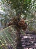 Spezieller Kokosnuss-Baum stockbild
