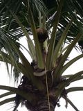 Spezielles Getränk Kokosnussblumengetränkalkohol todi Malaysias Stockfotos