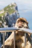 Spezies: Macaca sylvanus Lizenzfreies Stockfoto