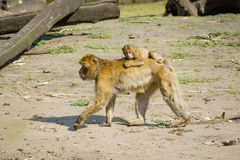 Spezies: Macaca sylvanus Lizenzfreies Stockbild