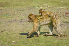 Spezies: Macaca sylvanus Stockfoto