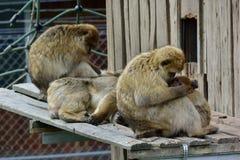 Spezies: Macaca sylvanus Stockfotos