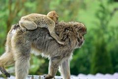 Spezies: Macaca sylvanus stockfotografie