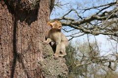 Spezies: Macaca sylvanus Lizenzfreie Stockfotos