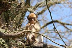 Spezies: Macaca sylvanus Lizenzfreie Stockfotografie