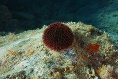 Sphaerechinus Granularis Sea Urchin Underwater Stock Photography