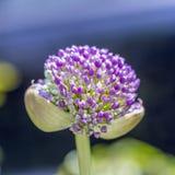 Sphaerocephalon rosa dell'allium Fotografia Stock Libera da Diritti