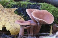 Sphagneti млечника гриба Стоковая Фотография