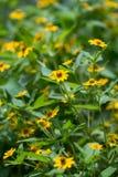 Sphagneticola Trilobata yellow flowers background Stock Image