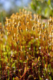 Sphagnum. Moss in the forest tundra close Royalty Free Stock Photos
