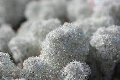 Sphagnum - ascendente cercano. Foto de archivo libre de regalías