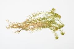 Sphagnum herbarium on white Stock Image