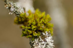 Sphagnum and lichens on bark Royalty Free Stock Photography