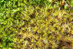 Sphagnum Moss. Macro of green sphagnum moss with morning dew royalty free stock photos