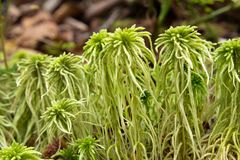 Sphagnum moss. Closeup in nature Stock Photography