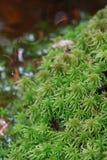 Sphagnum moss fotografering för bildbyråer
