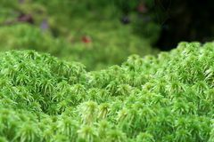 Sphagnum moss Stock Images