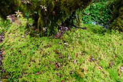 Sphagnum moss in Ang Ka Luang Nature Trail. Is an educational nature trail inside a rainforest on the peak of Doi Inthanon National Park in Chiang Mai, Thailand Stock Image