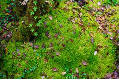 Sphagnum moss in Ang Ka Luang Nature Trail. Is an educational nature trail inside a rainforest on the peak of Doi Inthanon National Park in Chiang Mai, Thailand Stock Photography