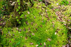Sphagnum moss in Ang Ka Luang Nature Trail. Is an educational nature trail inside a rainforest on the peak of Doi Inthanon National Park in Chiang Mai, Thailand Royalty Free Stock Images