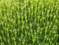 Sphagnum moss background Stock Image