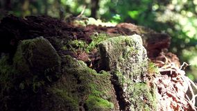 Sphagnum moss on branch tree in Ang Ka Luang Nature Trail at Doi Inthanon National Park in Chiang Mai, Thailand. Sphagnum moss on Branch Tree in Ang Ka Luang stock footage