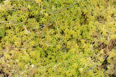 Sphagnum Moss in Closeup Stock Images