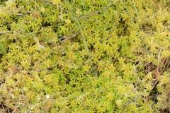 Sphagnum Moss in Closeup Stock Images