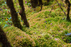 Sphagnum moss. Clump moss botany trunk rural of damp Stock Image