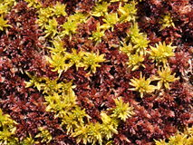 Sphagnum moss Royalty Free Stock Photo