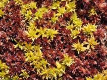 Sphagnum moss Royalty Free Stock Photo