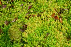 Sphagnum moss. Green and fresh of sphagnum moss in deep green forest Stock Photos