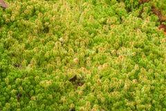 Sphagnum moss. Royalty Free Stock Image