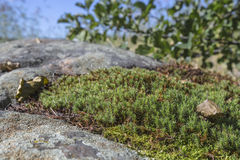 Sphagnum moss growing on the rocks Stock Photography