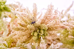 Sphagnum moss. Sprigs of sphagnum moss isolated on white background Royalty Free Stock Photos