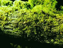 Sphagnum nature background Royalty Free Stock Images