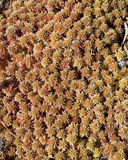 Sphagnum peat moss. Orange  and brown soft sphagnum peat moss background Royalty Free Stock Images