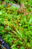 Sphagnum with spores. Multiplication, in the forest Stock Image