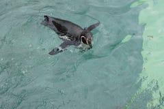 spheniscus пингвина humboldti humboldt Стоковое фото RF