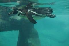 spheniscus пингвина humboldti humboldt Стоковое Фото