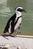 Spheniscus demersus - African penguin Stock Photos