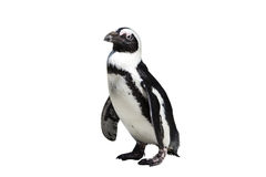 Spheniscus demersus - African penguin Stock Photo