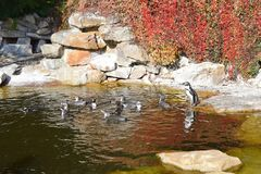 Spheniscus Humboldti Penguins Flock in Water royalty free stock photos