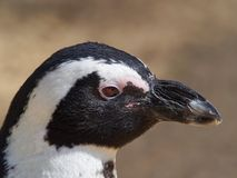 Spheniscus Magellanicus, Muggle Penguin, close-up, head with white feathers, black stripes and black beak. Spheniscus Magellanicus, Magellanic Penguin, close-up Stock Photos
